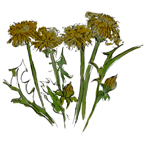 Dandelion Wild Foraged Ingredient by Rhug Wild Beauty