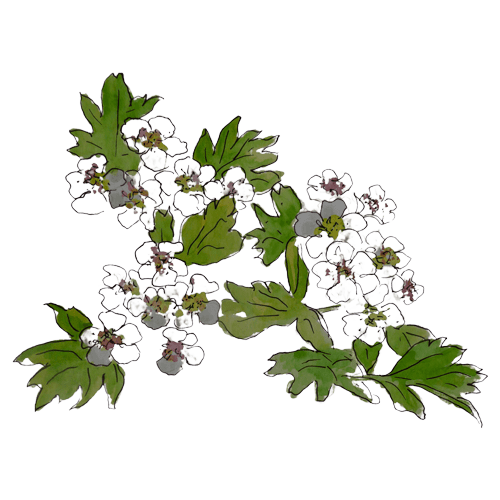 Hawthorn Wild Foraged Ingredient by Rhug Wild Beauty